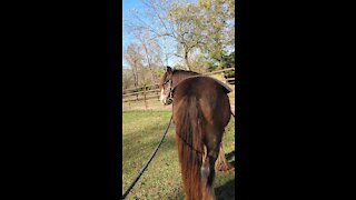 Gypsy Horse Quiggly Ground Driving
