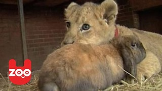 Lion Plays With Rabbit And Dog - Video