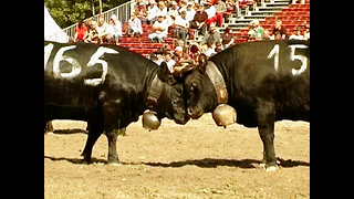 Cow Fight! - Video