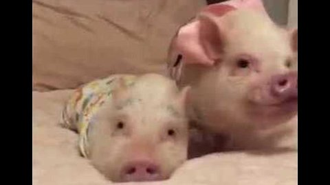 Pigs and Pug Enjoy Slumber Party With New Baby Goat