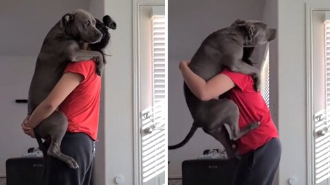 Overly attached pit bull shows just how clingy it is