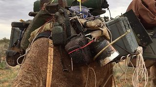 Sinister sight: Thousands of flies swamp camel in desert - Video