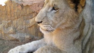 Playing with an adorable lion cub - Video