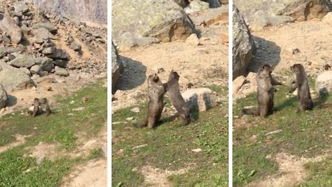 Rodents tussle in display of mix marmot arts