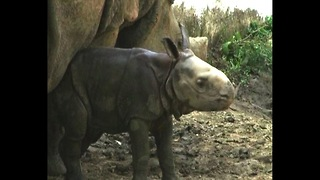 Newborn Rhinoceros - Video