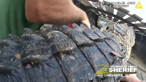 VIDEO: 10-foot gator found under parked car in Tampa