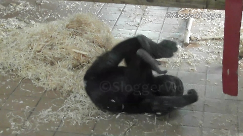 This Baby Gorilla Has A Real Knack For Rolling