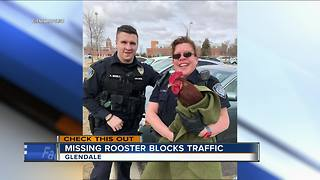 Stray rooster found in Glendale, police seeking owner - Video