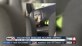 Volunteer Rescue Injured Osprey - Video