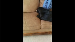 Dog hides bone in couch, covers it with blanket - Video