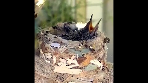 Baby hummingbird waits for mama to bring dinner