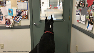Great Dane Goes to Visit Oncologist Vet for Osteosarcoma