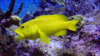 Rare Genetic Mutation Creates These Gorgeous, Golden Colored Fish - Video