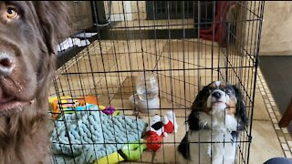 Newfoundland dog helps mischievous puppy escape pen