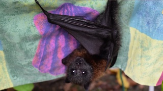 Baby bat chirps for cuddles - Video