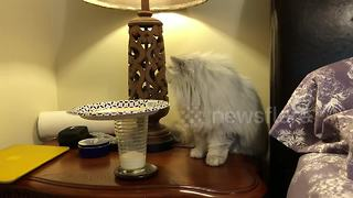Fluffy cat works out how to get at milk - Video