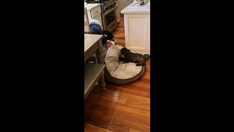 Tiny dog fearlessly tries to steal husky's bed in epic tug-of-war match