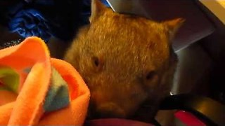 Funny Wombat Steals Owner's Glove - Video