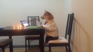 Dog sits like a human, enjoys peaceful dinner alone