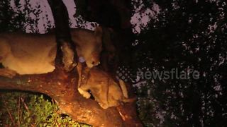 Terrified lion family trapped in tree by fierce hyenas - Video