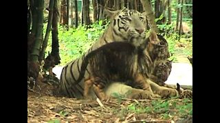 Cub Losing His Stripes - Video
