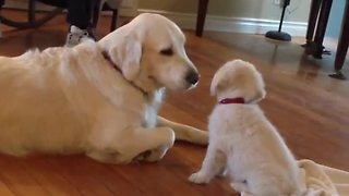 Puppy meets Golden Retriever, has priceless first encounter