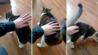 Cat loves being patted on her behind - Video