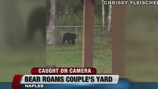 Black Bear roams Naples yard - Video