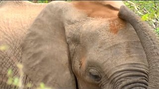 Elephant Gives Himself a Lovely Dust Bath - Video