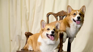 12 Fun and Furry Facts on the Corgi | Rare Animals - Video
