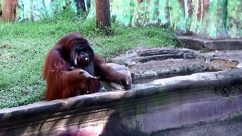 Orangutan Asks Zoo Visitor For Banana Then Throws Back The Peel
