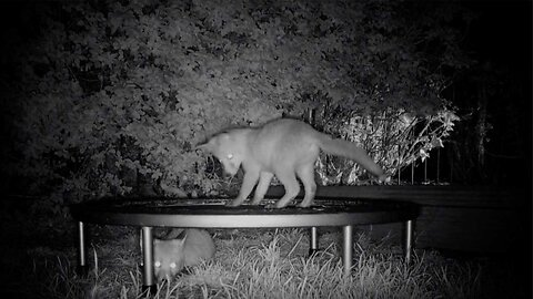 Adorable Footage Shows Fox Cubs Bouncing On A Trampoline