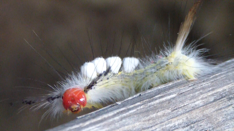 A caterpillar's journey: Stunning insect takes a stroll