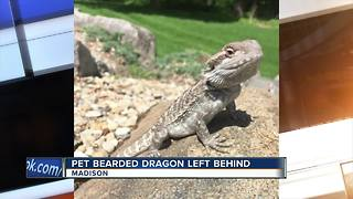 UW-Madison bearded dragon