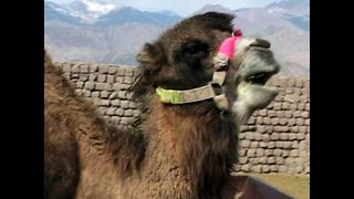 Silk Route Camels Saved - Video