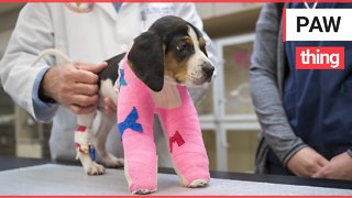 Amazing video shows puppy born with upside down paws get new lease of life after operation