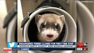 Endangered ferret cloned for first-time ever