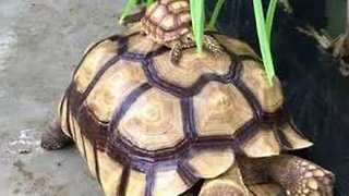 Massive Tortoise Gives Piggy Back Ride to Its Mini-Me - Video