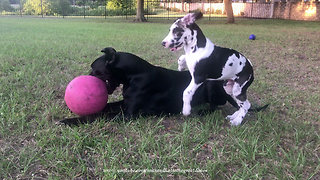 Comical Great Dane Puppy Swipes Jolly Ball  - Video