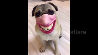 This Pug With A Laughing Mask On Is Truly Hilarious  - Video