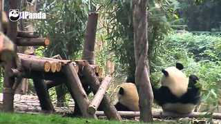 Clumsy Panda Gives Pal the Fright of His Life - Video