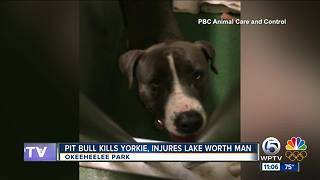 Pit bull kills Yorkshire terrier, injures man at Okeeheelee Park - Video