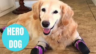 Amputee dog who discovered in trash bag in South Korea is finalist in US' heroic dog competition - Video