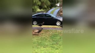 'It's Turkey time' - Man films turkeys walking across street on Thanksgiving - Video