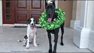 Puppy poses with Great Dane for first ever Christmas photo - Video