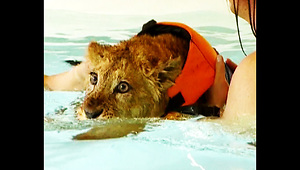 Lion Cub Swims To Health - Video