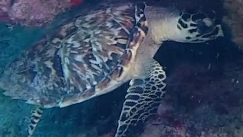 Divers Find Flamingo Tongue on the Reef