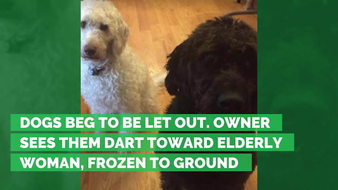 Dogs Beg to Be Let Out. Owner Sees Them Dart Toward Elderly Woman, Frozen to Ground