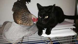 Cat & chicken share amazing unique friendship