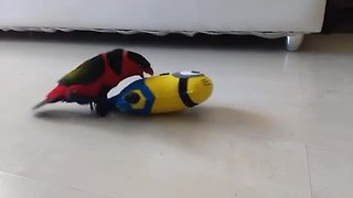 Lorikeet dances with Minion toy - Video